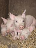 Curious Piglet. Portrait of a small 1 week old piglet amongst his siblings in straw on a biological farm Stock Image