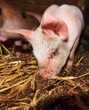 Curious piglet Royalty Free Stock Images