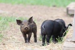 Curious Piglet Stock Photo