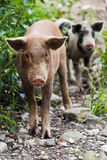 Curious Piglets. Two curious piglets in country royalty free stock images