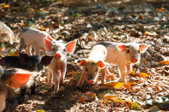 Curious piglets Royalty Free Stock Photography