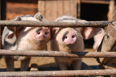 Curious pigs at cage, takes out their nose through the fence Stock Photos
