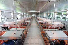 Curious pigs in Pig Breeding farm in swine business in tidy and clean indoor housing farm