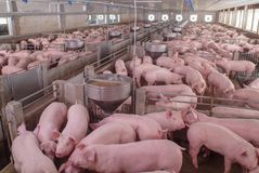 Swine Farm with Mother Pig and Piglets