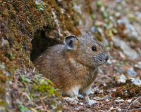 Curious Pika Stock Photo