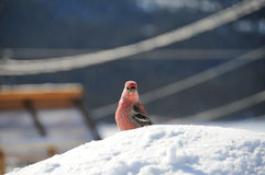 Curious pine grosbeak sitting on snow Royalty Free Stock Photography