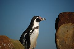 Curious pinguin on lookout Royalty Free Stock Photo
