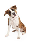 Curious Pit Bull Cross Sitting Stock Image