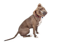 Curious Pit Bull Dog Sitting Tilting Head Stock Images