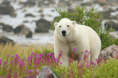 Curious Polar Bear closing in. Canadian Polar Bear walking in the colorful arctic tundra of the Hudson Bay near Churchill, Manitoba in summer royalty free stock images