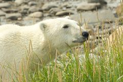 Curious Polar Bear in the grass. Canadian Polar Bear walking in the colorful arctic tundra of the Hudson Bay near Churchill, Manitoba in summer stock photos