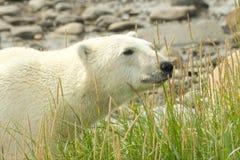 Curious Polar Bear in the grass Stock Photos