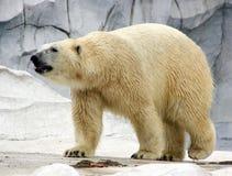 Curious Polar Bear. A polar bear walks over to the glass at its exhibit Stock Photography