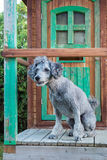 Curious Poodle sitting on a veranda Royalty Free Stock Photography