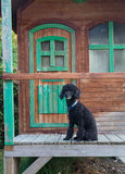 Curious Poodle sitting on a veranda Stock Photography