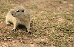 Curious Prairie Dog Royalty Free Stock Image