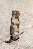Curious Prairie Dog (Cynomys) in Banff Stock Image