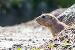 Curious prairie dog sticks head out of the cave royalty free stock image