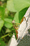 Curious Praying Mantis Royalty Free Stock Photography
