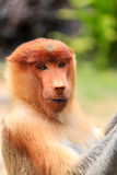 Curious Proboscis Monkey Stock Photography