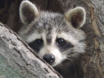 Curious and Protective Momma Raccoon Looking out of Tree Den Stock Images