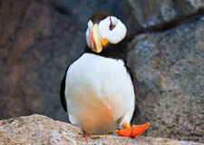Curious puffin Royalty Free Stock Images