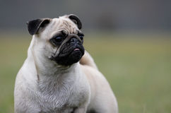 Curious pug Stock Image
