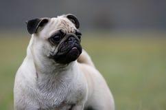 Curious pug Stock Image