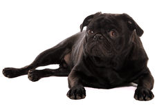 Curious pug. Pug puppy relaxed but curious Stock Images