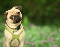 Curious Pug. Curious Male Pug with his head cocked to the side against natural green background Stock Photo