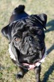 Curious pug Royalty Free Stock Photos