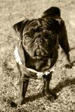 Curious pug Stock Images