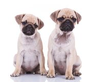 Curious pug couple looking to side Royalty Free Stock Photo