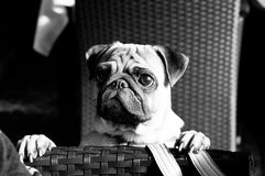 Curious pug dog. Black and white portrait photography of curious pug dog pet with its paws on wicker armchair indoors looking at somebody Royalty Free Stock Photos