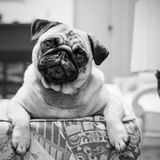 Curious Pug Looking Over Sofa Stock Photography