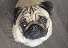 Curious pug Royalty Free Stock Image