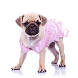 Curious pug puppy dog wearing pink dress Stock Photography