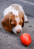 Curious puppy. Tiny dog wondering if round object is safe to approach stock image