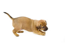 Curious puppy Stock Images
