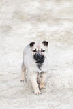 Curious puppy Royalty Free Stock Photography