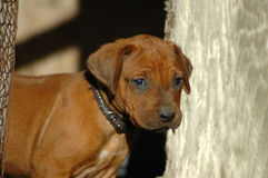 Curious puppy Royalty Free Stock Image