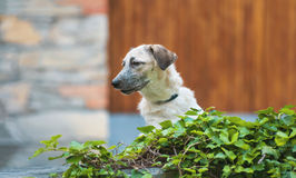 Curious puppy black and white half-blood dog standing on the wall Stock Photography