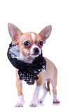 Curious puppy Chihuahua Royalty Free Stock Image