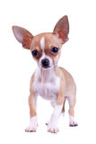Curious puppy Chihuahua Royalty Free Stock Photos