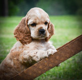 Curious puppy Stock Photography