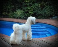Curious Puppy. Dog Onlooking Scenic Pool Tropics White Small Dog Stock Photos