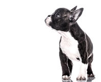 Curious puppy. French bulldog puppy looking at something Royalty Free Stock Photo