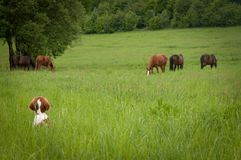 Curious puppy with horses on a meadow. stock photos