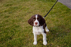 Curious Puppy at the Park. Young English Springer Spaniel puppy on a walk in the park Stock Photos