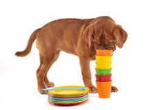 Curious Puppy Sniffing Pile of Cups Royalty Free Stock Image